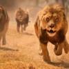 Zimbabvede 10 yaşındaki kıza aslan saldırdı